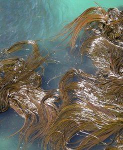 Aussie seaweed Kelp 5 kilo