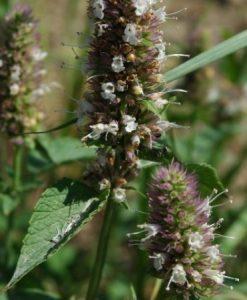 Nettle leaf 500 gram
