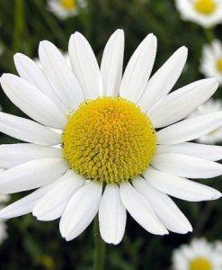 Chamomile flowers 1 kilo