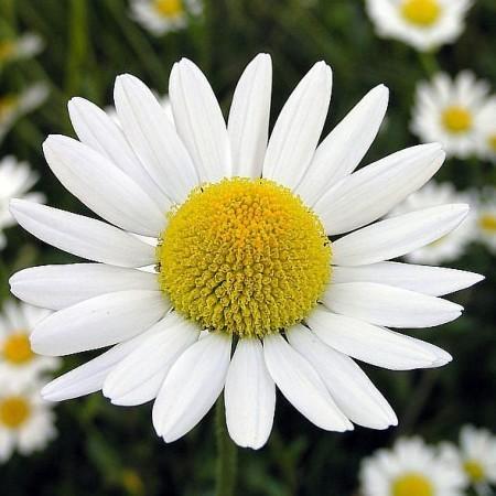 Chamomile flowers 1 kilo 1