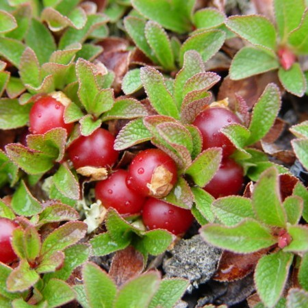 Bearberry 500 gram 1