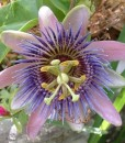 Passionflower 500 gram