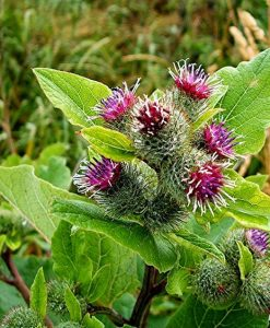 how-to-grow-Burdock_mini