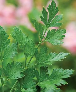 PARSLEY PHOTO