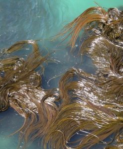 Aussie seaweed Kelp 1 kilo
