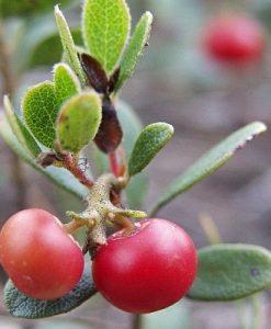 Bearberry 500 gram