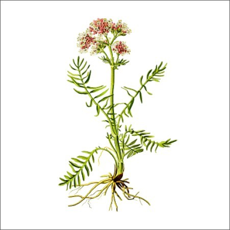 Valerian root 500 gram