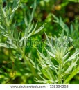 stock-photo-artemisia-absinthium-absinthe-absinthium-absinthe-wormwood-wormwood-plant-ingredient-in-728394202