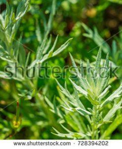 stock-photo-artemisia-absinthium-absinthe-absinthium-absinthe-wormwood-wormwood-plant-ingredient-in-728394202