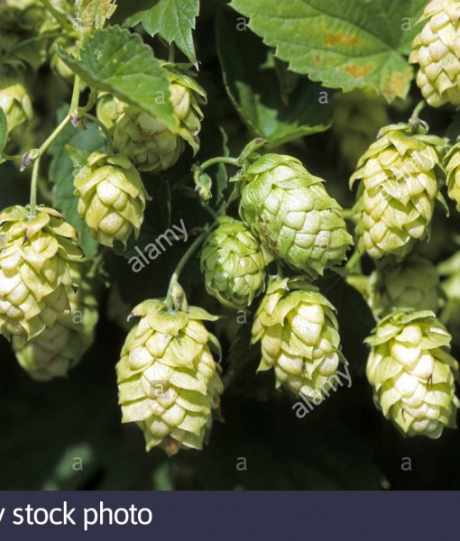 common-hop-humulus-lupulus-female-flower-hops-BWWXFD